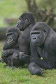 Western lowland gorilla, Gorilla gorilla — Stock Photo
