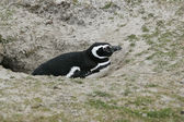 Magellanic penguin, Spheniscus magellanicus — Stock Photo