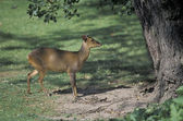 Muntjac, Muntiacus reevesi, — Stock Photo