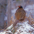 Stock Photo: Pheasant, Phasianus colchicus