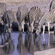 Stock Photo: Plains zebra, Equus quagga