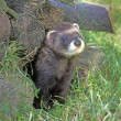 Stock Photo: Polecat, Putorius putorius