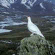 Ptarmigan, Lagopus mutus — Stock Photo