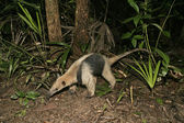 Northern tamandua, Tamandua mexicana — Foto Stock