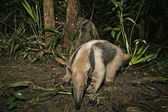 Northern tamandua, Tamandua mexicana — Photo