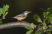 Nuthatch, Sitta europaea — Stock Photo