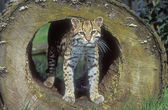 Ocelot, pardalis leopard — Zdjęcie stockowe