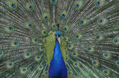 Peafowl, Pavo cristatus — Stock Photo