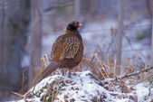 Pheasant, Phasianus colchicus — Stock Photo