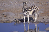 Plains zebra, Equus quagga — Stock Photo