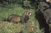 Polecat, Putorius putorius — Stock Photo