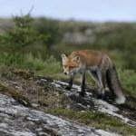 Red fox, Vulpes vulpes — Stock Photo