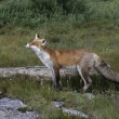 Stock Photo: Red fox, Vulpes vulpes