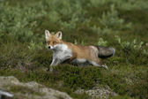 Rosso volpe, vulpes vulpes — Foto Stock
