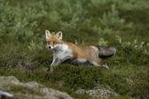 红狐狸,狐狸狐狸 — 图库照片