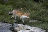 Rotfuchs vulpes vulpes — Stockfoto