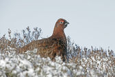 Red grouse, Lagopus lagopus — Stockfoto