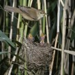 Stock Photo: Reed warbler, Acrocephalus scirpaceus,