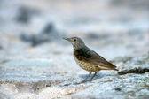 Rock thrush, Monticola saxatilis — Foto Stock