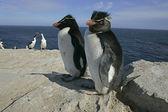 Rockhopper penguin, Eudyptes chrysocome — Стоковое фото