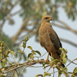 Savanna hawk, Buteogallus meridionalis — Stock Photo