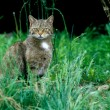 Scottish wildcat, Felis silvestris — Stock Photo #38130269