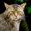 Scottish wildcat, Felis silvestris — Stock Photo #38130277