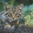 Scottish wildcat, Felis silvestris — Stock Photo #38130307