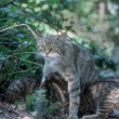 Scottish wildcat, Felis silvestris — Stock Photo #38130333