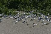Sandwich tern, Sterna sandvicensis — Stock Photo