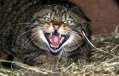 Scottish wildcat, Felis silvestris — 图库照片