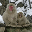 Stock Photo: Snow monkey or Japanese macaque, Macacfuscata