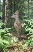 Sika deer, Cervus nippon — Stock Photo