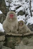 Snow monkey or Japanese macaque, Macaca fuscata — Stockfoto