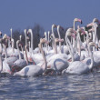 Stock Photo: Greater flamingo, Phoenicopterus ruber