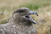 Great skua, Stercorarius skua — Stock Photo