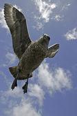 Büyük korsan martı, stercorarius korsan martı — Stok fotoğraf