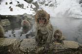 Snow monkey or Japanese macaque, Macaca fuscata — Zdjęcie stockowe