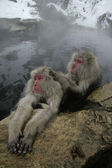 Snow monkey or Japanese macaque, Macaca fuscata — Stock fotografie