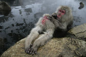 Snow monkey or Japanese macaque, Macaca fuscata — 图库照片