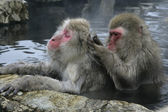 Mono de nieve o macaco japonés, macaca fuscata — Foto de Stock