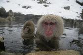 Snow monkey or Japanese macaque, Macaca fuscata — Stock Photo