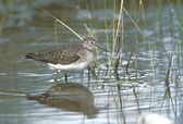 Solitary sandpiper, Tringa solitaria — Stock Photo