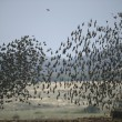 Starling, Sturnus vulgaris — Stock Photo #38355471