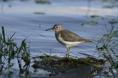 Spotted sandpiper, Actitis macularis — Stock Photo