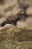 Steppe eagle, Aquila nipalensis, — Stock Photo