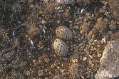 Stone curlew, Burhinus oedicnemus, — Stock Photo