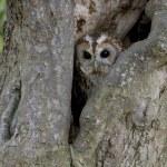 Tawny owl, Strix aluco — Stock Photo #38408105