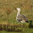 Stock Photo: Upland goose, Chloephagpicta