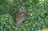 Tawny owl, Strix aluco — Stock Photo